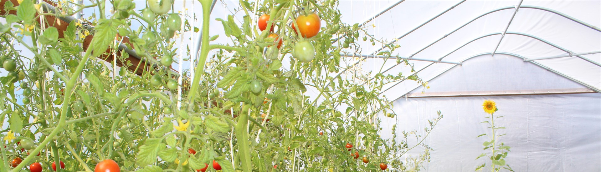 SIS greenhouse tomatoes
